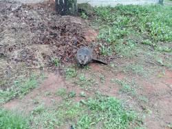 Strážníci netradičně odchytávali bobra
